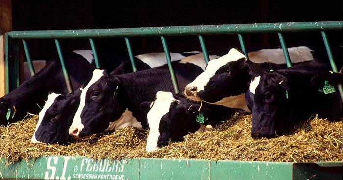 Faktom je, že kravy v mliekárniach trpia chorobami častejšie.