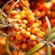 Rakytník rešetliakový - pestovanie, užívanie a účinky na zdravie